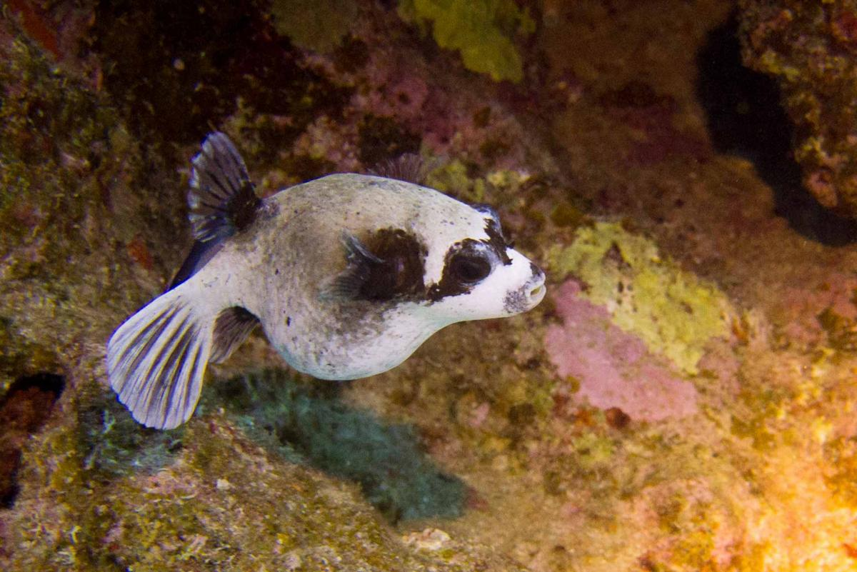 Kugelfisch Abu Dabab
